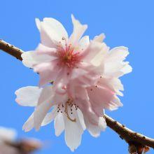 コヒガンザクラが咲き始めていました