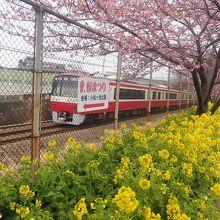 桜、菜の花、電車のコラボ