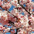 日立固有の桜