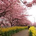 河津桜と菜の花の競演は伊豆以上
