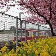 桜と菜の花そして京急そろい踏み