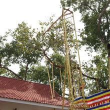 スリー マハー菩提樹