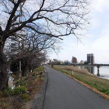 桜川のサクラ