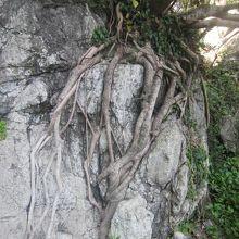 こんなアクロバティックな根っこの木も見られました(^^;)。