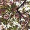 葉桜でも美しき