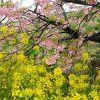 河津桜まつりで川沿いを歩く
