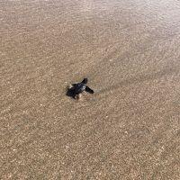 ウミガメ放流