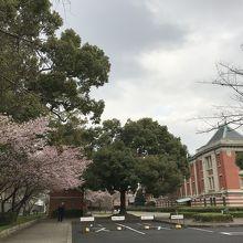 駐車場側の桜