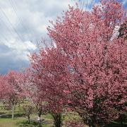 早咲き桜が綺麗に咲いてます