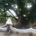 写真:三神堂 御神木