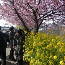 菜の花の黄色と競演