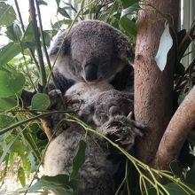 コアラさん寝てます