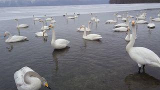 白鳥いっぱい