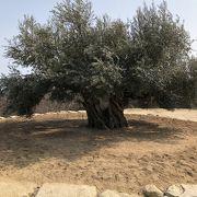 太いオリーブの木