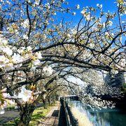帷子公園の桜と鯉のぼり