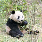 【成都パンダ基地】エリアも広がり、幼年パンダも分散されて、混雑緩和されてきたかも?