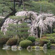 桜の見ごろは、まだでした。