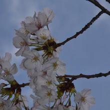 公園で満開の桜と青空
