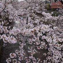 神田上水の上に枝を伸ばして満開の桜