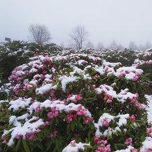 満開時に降雪があり幻想的
