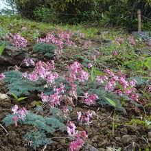 高山植物の女王 コマクサ畑が三ケ所あり 珍しい白いコマクサも