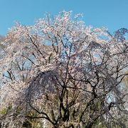 内庭大門から見る桜