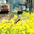 菜の花沿線を走る列車