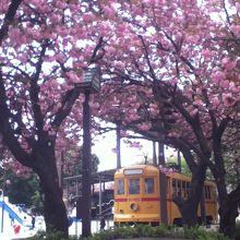 黄色い電車と桜