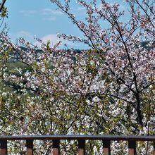 桜が満開の衣笠山展望台