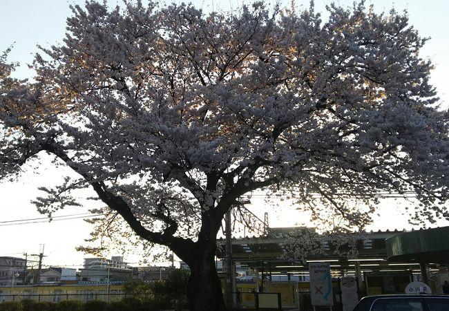 昇り亀の桜
