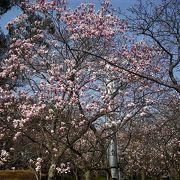 3月下旬は桜が咲き始めています。木蓮がきれいです。