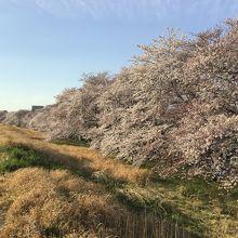 土手と 夕暮れ前の青空と 桜並木