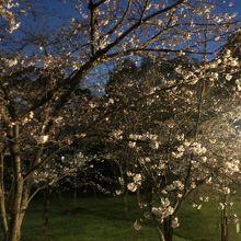 夜の桜はライトに照らされてより綺麗です
