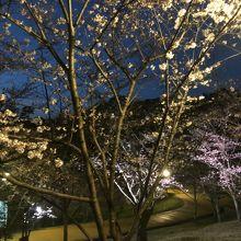 公園内にはシートを敷いて桜の花見が出来る場所が幾つかあります