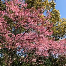 日中のヨウコウ桜