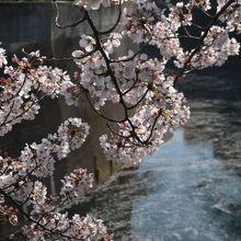 川面には桜の花びらが・・