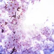 混雑していないのでのんびり花見散策ができました。