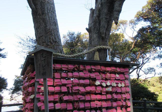 江島神社 結びの樹