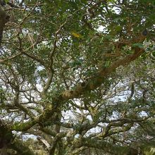 小学校の校庭にある大木
