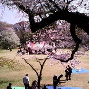 並木道や広場など様々な形で桜を楽しめます