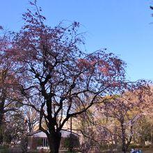 諏訪神社に隣接した桜の多い公園