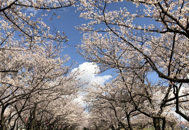 今年も桜がきれいでした。