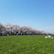 北上川添いの桜並木が美しい