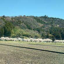 高倉川沿いの桜