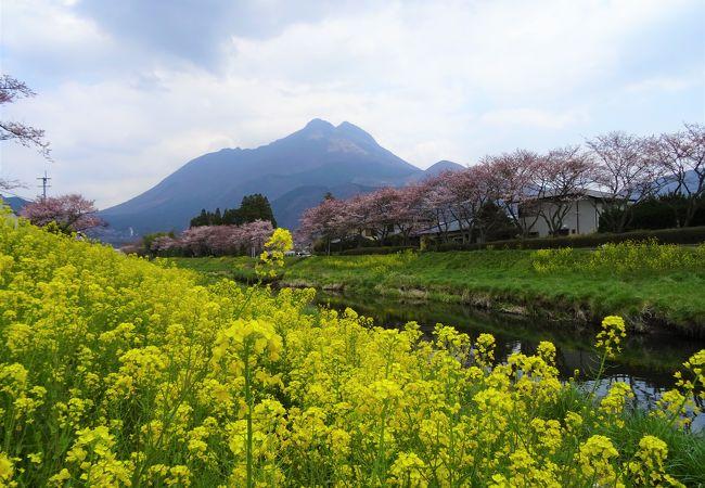 由布院・大分川沿いの桜並木 美しい風景にうっとり