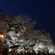 ライトアップされた桜も綺麗です