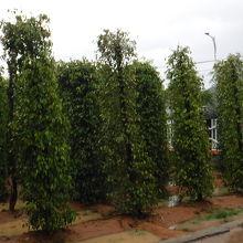 胡椒の木は、スリランカで見た物と同じ