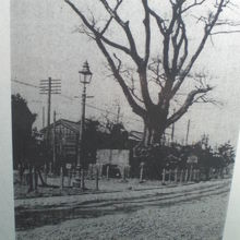 大正時代の西ヶ原一里塚と榎の樹です。榎の樹は、枯れました。