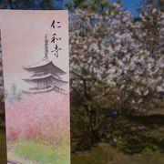 仁和寺の御室桜が見ごろでした。ここはソメイヨシノより遅れます。