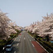 桜の大学通り